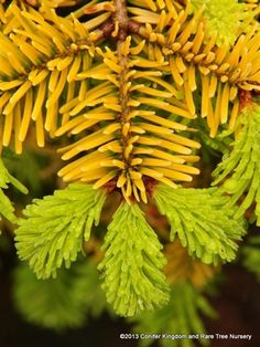 Abies nordmanniana 'Golden Spreader' - Golden Spreader Nordmann Fir - Buy at Conifer Kingdom. A sunny addition to the winter garden, this golden spreading Nordmann fir has a compact bun-like shape. The tiny golden needles require shade when young.