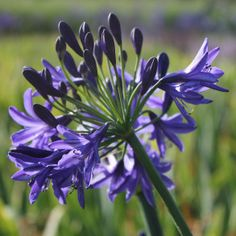 Agapanthus 'Navy Blue'   I love agapanthus and this one is probably my favourite