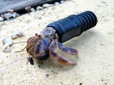 Hermit Crab in pipe, looks like a broken vacuum cleaner pipe.