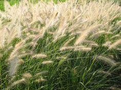 Pennisetum alopecuroides. Fountain Grass.