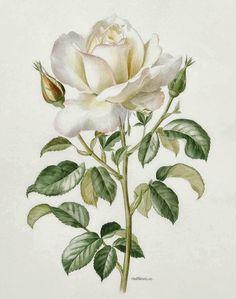 A white rose by Anne Marie Trechslin (1927-2007)