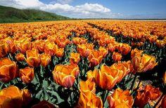 the tulip fields of Keukenhof Gardens in the Netherlands. (my motherland.)