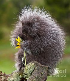 ~ photographer : Jerry Fornarotto - porcupine with arrowleaf balsamroot