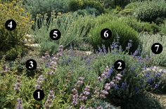 1 salvia Bees bliss  2 salvia chamaedryoides  3 thymus capitatus  4 phlomis lycia  5 helichrysum orientale  6 santolina viridis primrose gem  7 artemisia lanata