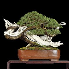 Photos The International Bonsai Magazine