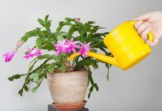 Growing plants in container might be tricky if you don't know 'how to water container plants' your success as a container gardener depends on it. What is the right way to water and how frequently you should do that? Everything answered in this short article.