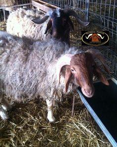 New and Improved Awassi Dairy sheep. USA, Greece and Cyprus.