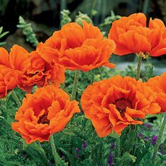 Prince of Orange Oriental Poppies  Satiny, ruffled-looking flowers studded with jet-black stamen sand framed in grayish-green foliage. Blooms late spring to mid summer and grows 18-30 in. tall. Best in full to partial sun; almost any soil. Zones 3-8.