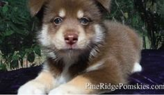 Pine Ridge Pomskies Puppies For Sale 727-485-5562 ttp:/... tags: Pine Ridge Pomskies, Pomskies, Pomsky, Breeders, Siberian Husky, Pomeranian, Hybrid, F1, Full Grown, Price, Information, Breeders, Adoption, Real, How Much For Pomskies, Alaskan Klee Kai, How Big Do Pomskies Get, How Much Are Pomskies, Apex, Training, Breed, Puppy, Puppies, Dogs