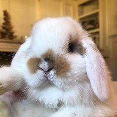 Cute Baby Bunnies, Funny Bunnies, Cute Funny Animals, Cute Baby Animals, Animals And Pets, Cute Babies, Rabbit Season, Beautiful Rabbit, Indoor Rabbit