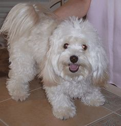 Bischone Havanese is a small toy dog who is very loyal and loving.