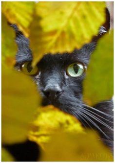 Black cat, yellow leaves