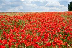 Poppy field, by Susan Hol #huisdecoratie