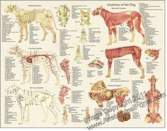 dog canine veterinary anatomy laminated poster wall chart ebay
