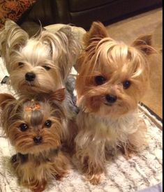 Oh my Lord.... Super adorable! I would trade in my kids for this. lol.... JK #YorkshireTerrier #BestPuppies