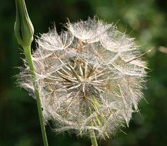 "Asterales, Asteraceae, Taraxacum ""Dandelion"""