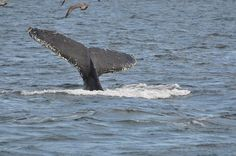 Whale-watching off the coast of Provincetown, MA.