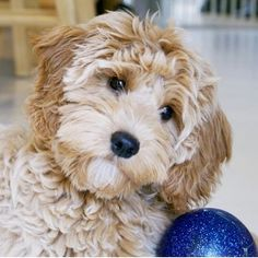 miley f1b toy goldendoodle.jpg