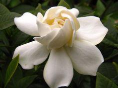 Gardenia plantación y cuidado de esta maravillosa flor de interior. El común de la gardenia (Gardenia augusta) es un arbusto floreciente que crece hasta un máximo de 8 pies de altura, produciendo un tallo de color verde oscuro, hojas brillantes, ovales, cubiertas con brillantes flores fragantes y vistosas, de color blanco. Las gardenias son plantas …