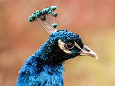 Påfågel (Pavo cristatus)