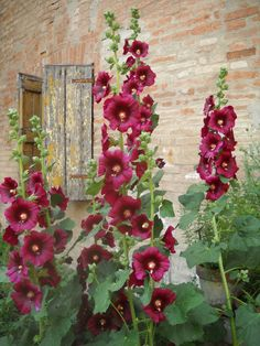 WASPing Through the Countryside — casa-simples: . Hollyhocks Flowers, Dream Garden, Watercolor Flowers, Garden Inspiration, Beautiful Gardens, Garden Landscaping, Flower Art, Perennials, Planting Flowers