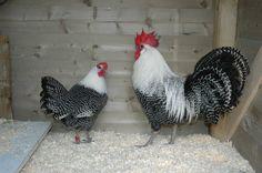 Dutch Bantam Chickens   Dutch bantam