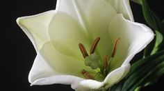 Flower, Lily, White, Flowers, Plant
