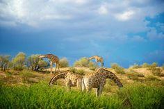 Four Giraffe (Giraffa camelopardalis) feeding with their heads hidden, Kgalagadi, South Africa