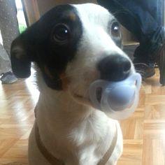Jack Russell Terrier Filou  Den brauche ich zum Einschlafen         Mehr lesen: http://d2l.in/6c  dogs2love - Gassi gehen zum Verlieben. Partnerbörse für alle, die Hunde lieben.  Bild, Hund, Rasse, Single