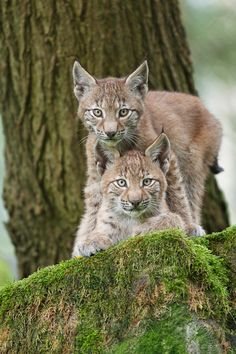 *}{*Lynx cubs