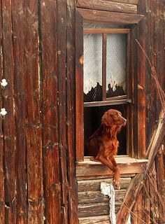 A friend waiting for his family ... irish setter in old frame window - red, rust