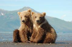 Grizzly ourson Denali (à doitre,mâle) et Sitka (à gauche, femelle) au parc Hallo Bay, Katmai National Park