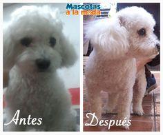 Le presentamos el antes y después de BOBY. Otro cachorrito que pasó por Mascotas a la Moda. :)