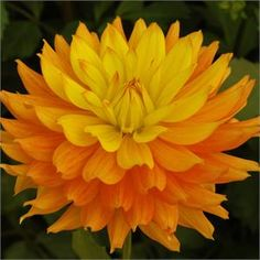 "CANDLELIGHT (BSC) Introduced in 2004. As beautiful as candlelight, these 6"" blooms are a soft orange blending to a rich golden yellow. One o..."