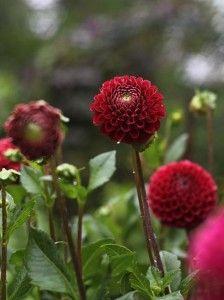 cute little dahlias