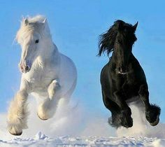 pictures of clydesdale horses | Black Butterfly Diaries: Clydesdale horses of beauty