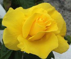 Den ene av mine gule roser blomstrer tidlig i år  - denne er en oppstammet Fresia :) / One of my yellow roses, Fresie, is blooming early this year. Wonderful :) /IJ 17.6.14