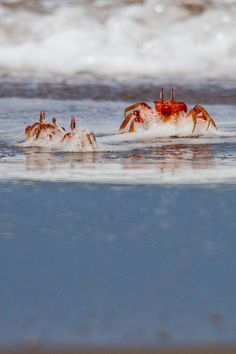 Red Ghost Crabs (by Kev.s)