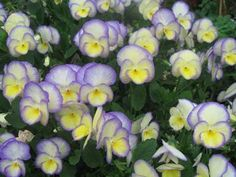 Non-stop blooms from February-November!  This is one impressive bloomer!!  Tidy clumps too! Viola 'Etain'