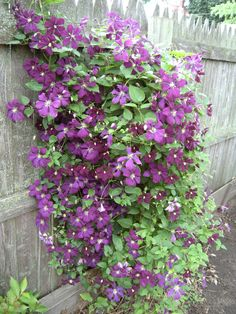 Climatis Oh if mine would bloom like this. Climbing Flowers, Climbing Vines, Cottage Garden Plants, Home And Garden, Garden Projects, Garden Ideas, Annual Flowers, Hollyhock, Outdoor Stuff