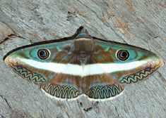 ZIGZAG WHITE-BANDED NOCTUID Donuca lanipes ©Peter Chew From the site: This is one of the most beautiful moth we'd ever seen, and we've only seen it once. It is in the Owl Moth Family. The moth is dark brown in colour with shiny blue green. There are...