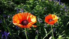 Poppies.  Photo by Mimi Smith.  2014.