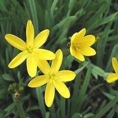 Outsidepride Yellow-eyed Grass - 500 Seeds Outsidepride: ... http://www.amazon.com/dp/B007VGZNV2/ref=cm_sw_r_pi_dp_P-Joxb1BZ0WX8