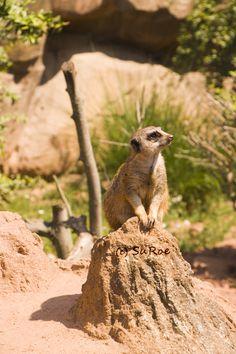 Erdmännchen im Zoo Leipzig