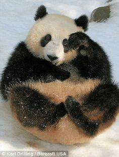 Young Panda Su Lin takes a roll in the snow at San Diego Zoo. Sliding down a snowy slope and smiling this young panda is enjoying itself jus...