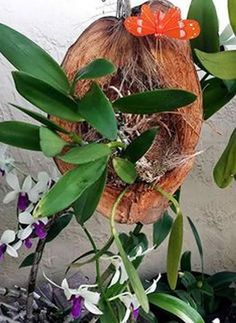 Coconut planter for orchids Orchid Planters, Orchids Garden, Garden Crafts, Garden Projects, Air Plants, Indoor Plants, Exotic Flowers, Beautiful Flowers, Hanging Orchid