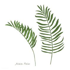 premium vector of Areca palm leaf isolated on white background Areca palm leaf isolated on white background Leaf Illustration, Free Vector Illustration, Tropical Background, Leaf Background, Leaf Drawing, Plant Drawing, Palm Tree Leaves, Palm Trees, Bamboo Leaves