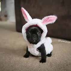 """""""Baaaaaa..I'm a Sheep...I think?"""" French Bulldog Puppy in Costume."""