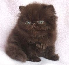 Awww sweet black kitten! Kitten For Sale, Persian Cats, Persian Kittens For Sale, Himalayan Kittens For Sale, Himalayan Cat, Cute Cats And Kittens, Kittens Cutest, Fluffy Cat Breeds, Russian Blue