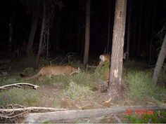 funny-mountain-lion-hunting-deer